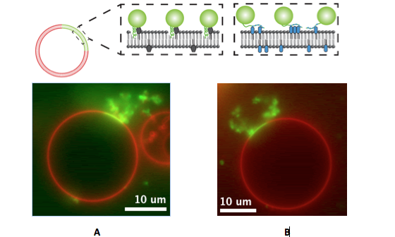 Cellular Membrane Bending by Protein-Protein Crowding